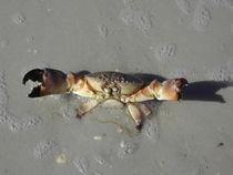 Tropische Krabbe im Schatten am Strand von Baerbel Nitychoruk