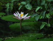 Lotus von emanuele molinari