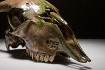 Skull study #8 von Nicolle Clemetson
