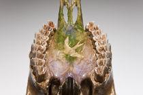 Skull study #7 von Nicolle Clemetson