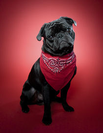 Pug on red. Part 2 von Nicolle Clemetson