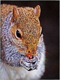 Grey squirrel holding nuts 1 framed by Chris Atkinson