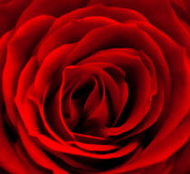 Red Rose von Leanne Starkie