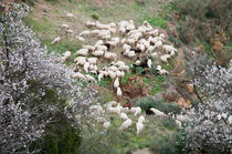 Group of Sheep by Michael Bastianelli