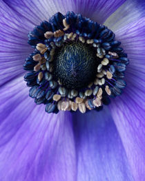 Purple Anemone by Colin Miller