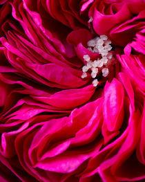 Garden Rose by Colin Miller