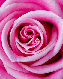 Pink Garden Rose by Colin Miller
