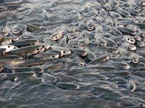 Fisch, Fisch, Fisch by Eva-Maria Steger