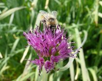 Pollination von S A