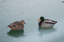 Ducks on Ice by Michael Bastianelli