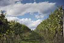 grapes bushes in vineyard under cloudy sky by michal gabriel