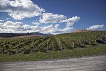 vineyard field by michal gabriel