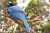 Bird, Azure jay by Laeti Images