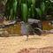 La20090526ls013-parque-das-aves-bird-park-jacuguau-dusky-legged-guan