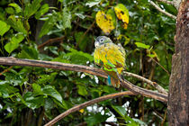 Bird, Scaly-headed parrot by Laeti Images