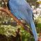 La20090526ls018-parque-das-aves-bird-park-gralha-azul-azure-jay