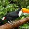La20090526ls025-parque-das-aves-bird-park-tucano-toco-toucan