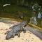 La20090526ls030-parque-das-aves-bird-park-jacar-do-papo-amarelo-broad-snoated-caiman
