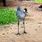 La20090526ls031-parque-das-aves-bird-park-grou-coroado-grey-crowned-crane
