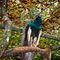 La20090526ls046-parque-das-aves-bird-park-pavo-azul-indian-peafowl