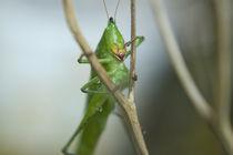 wet grasshopper by Alberto Prado