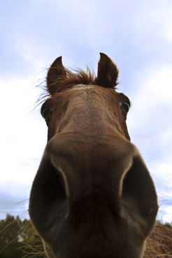 Horse-up-nostril-artflakes-hq