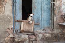 Dog in Havana, Cuba by Colin Miller