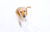 Retriever in snow by Erno Gergely