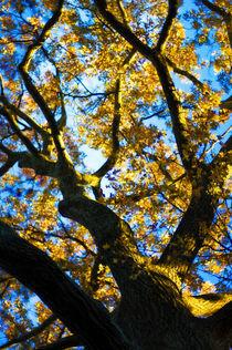 Glowing Oak by Deborah Wolfe