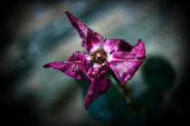 Ragged Rose by Deborah Wolfe