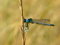 Blue Dragon Fly  von monkata Anev