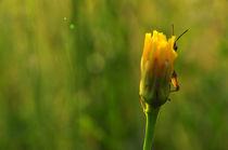 Hide and Seek with a Grasshopper von Tiberiu Calin  Gabor