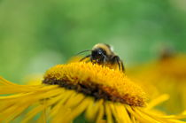 Honey Worker von Tiberiu Calin  Gabor
