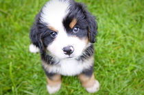 Bernese Mountain Dog Puppy by Andrew Hartl