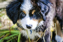 Puppy face by Andrew Hartl