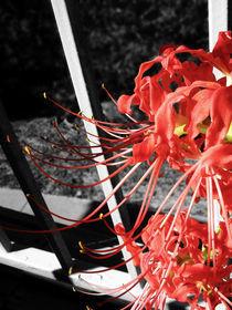 Red Spider Lilly 3 von chelseadaniele