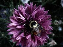 Orange Stripe Bumble-Bee by Branden Thompson