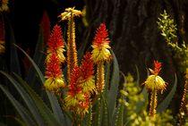 Aloe Cactus von Brian  Leng