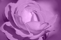 Rose rosa von Thomas Brandt