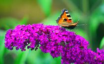 Schmetterling-monarch-2