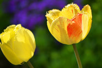 Tulpen von Thomas Brandt