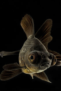 Big eyes black goldfish von Nicklas Wijkmark
