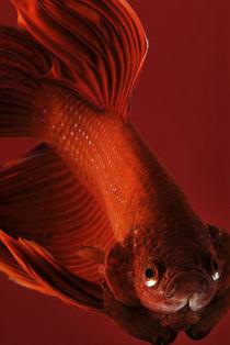 Siamese fighting fish #4 by Nicklas Wijkmark