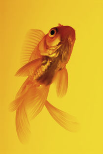 Yellow goldfish by Nicklas Wijkmark