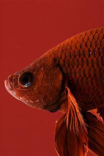 Siamese fighting fish #3 by Nicklas Wijkmark