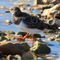 Turnstone-on-water
