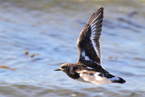 Solo-turnstone-flight