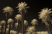 Death Valley Palms 1 by Brian  Leng