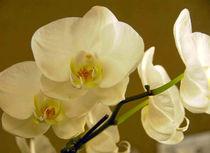 White Orchid/Huntington Library, San Marino, CA. USA  by Brian  Leng