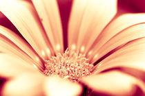 Ockerfarbene Blüte von dresdner